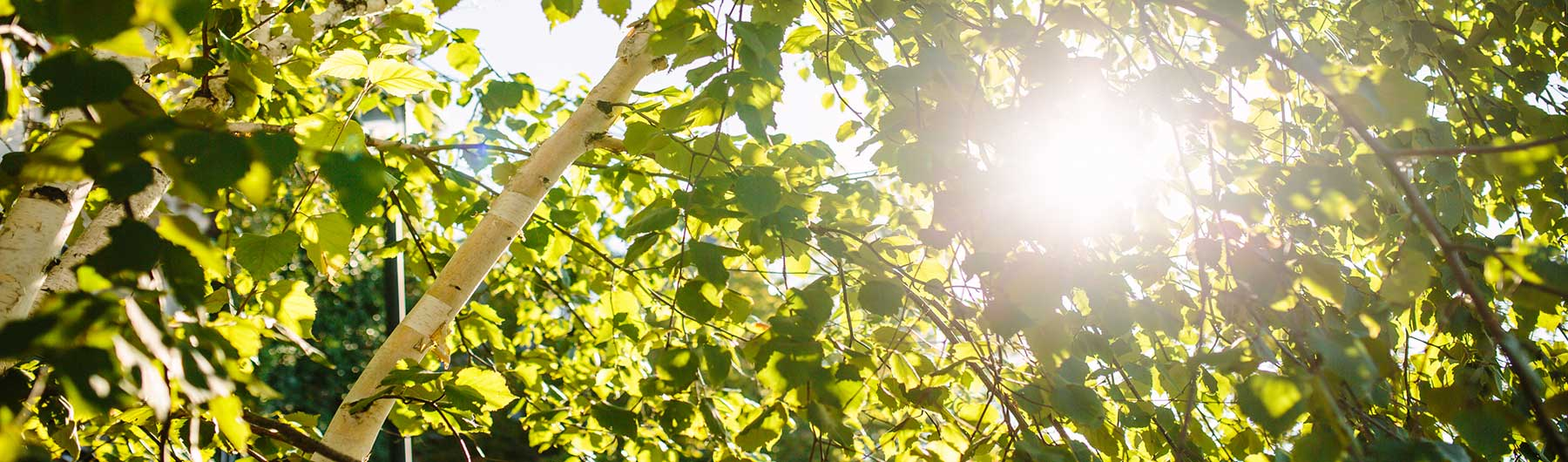 image of bright sun shining through birch tree leaves